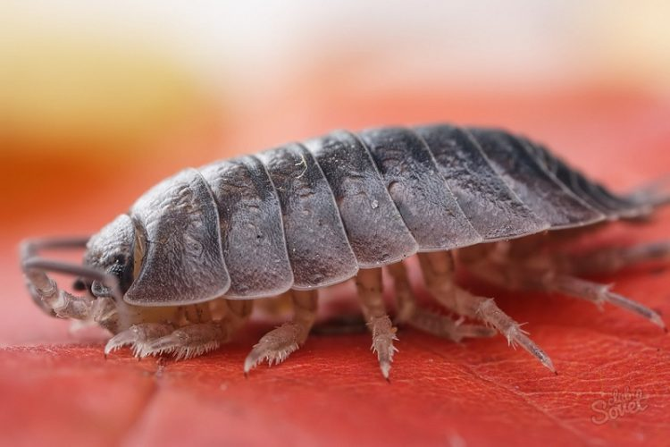How To Get Rid Of Wood Lice In The Apartment?